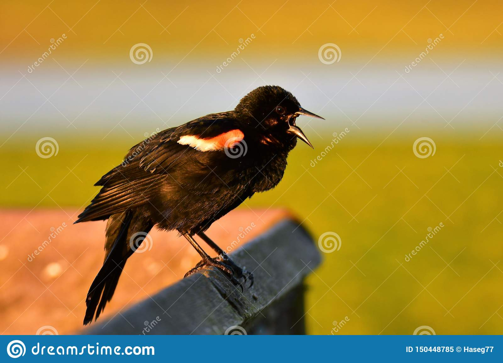A lively Red-winged blackbird singing from early morning to communicate with his fellows.