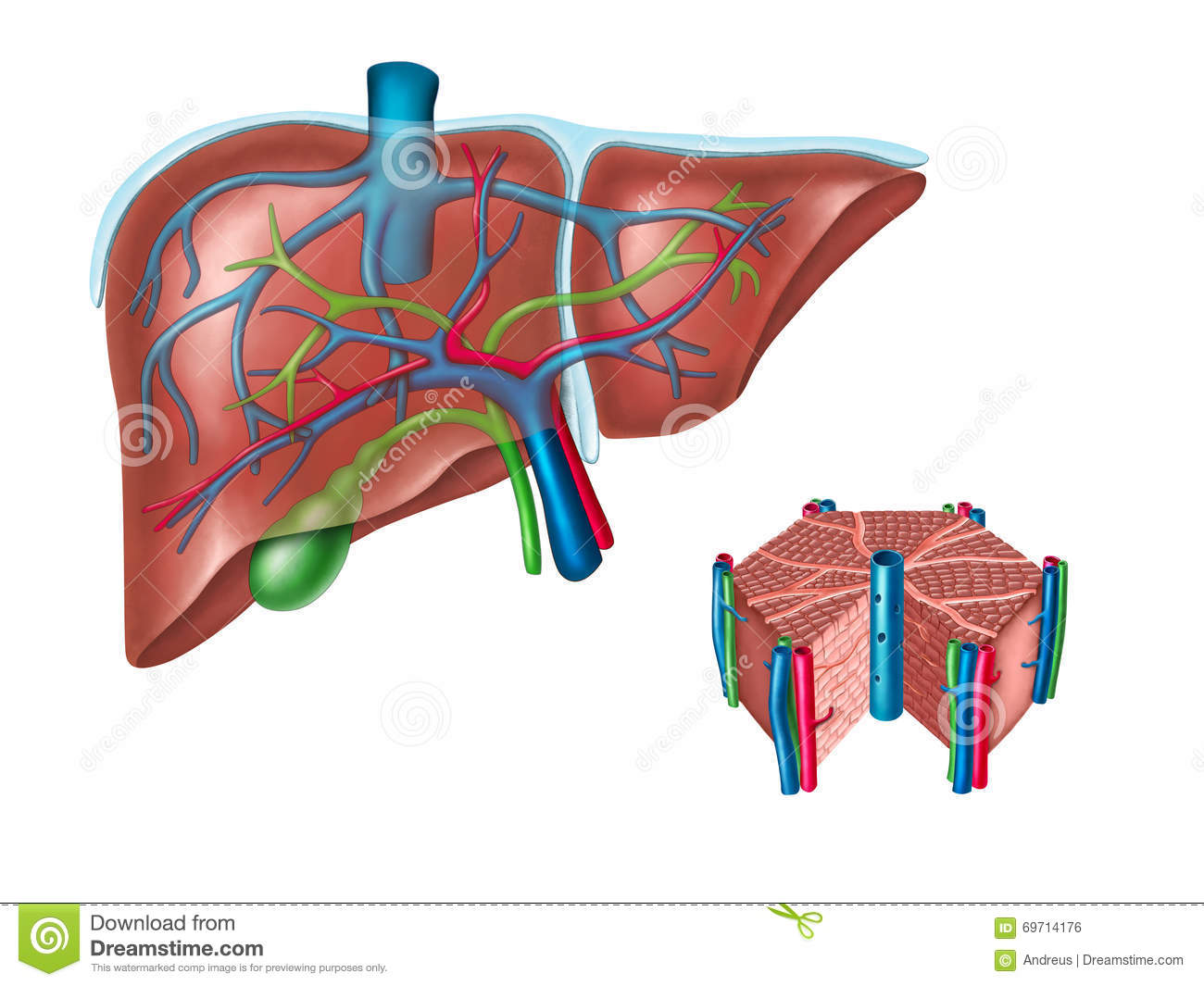 Liver Anatomy Stock Illustration  Image Of Anatomical