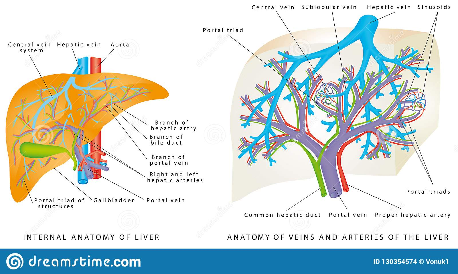 Liver Circulatory System Stock Vector Illustration Of Portal