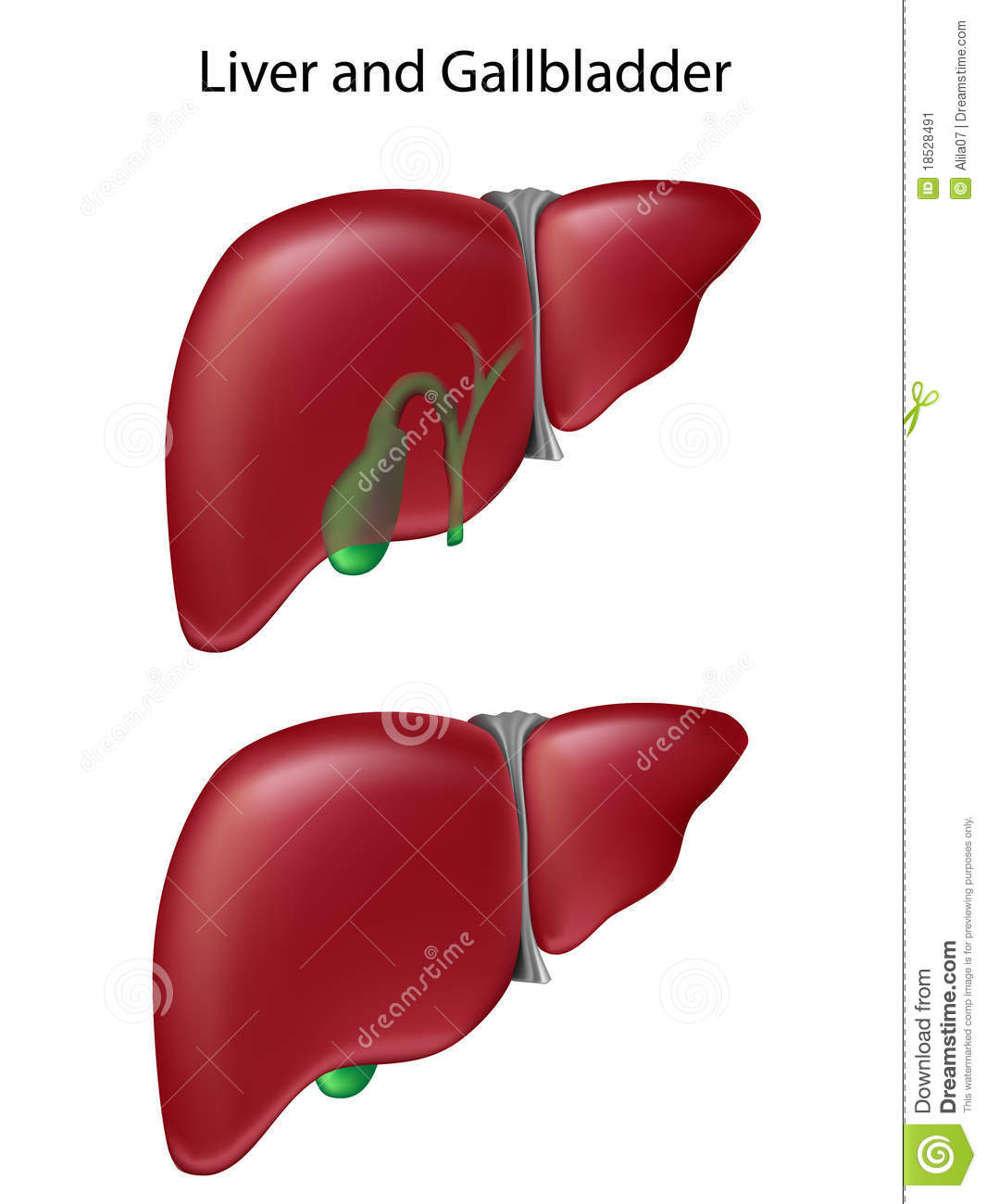 Gallbladder And Liver Anatomy