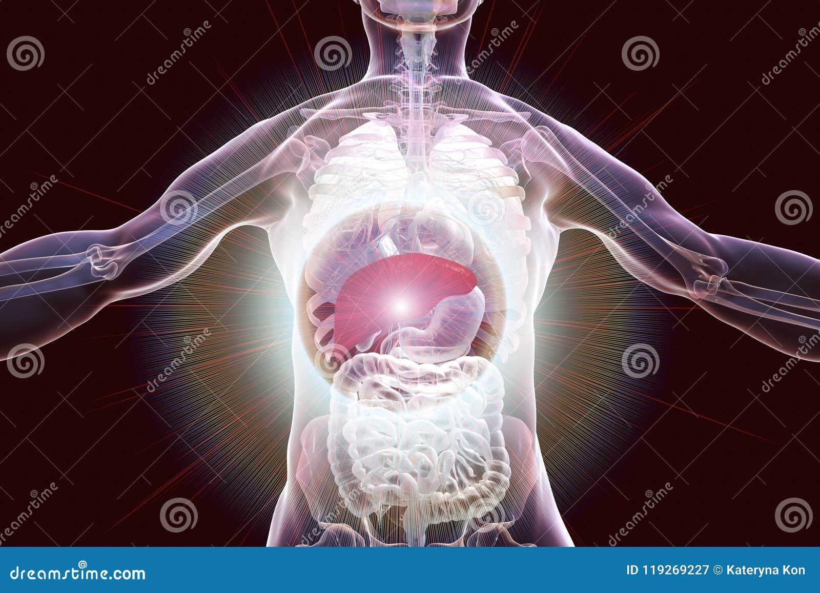 Liver Highlighted Inside Human Body Stock Illustration