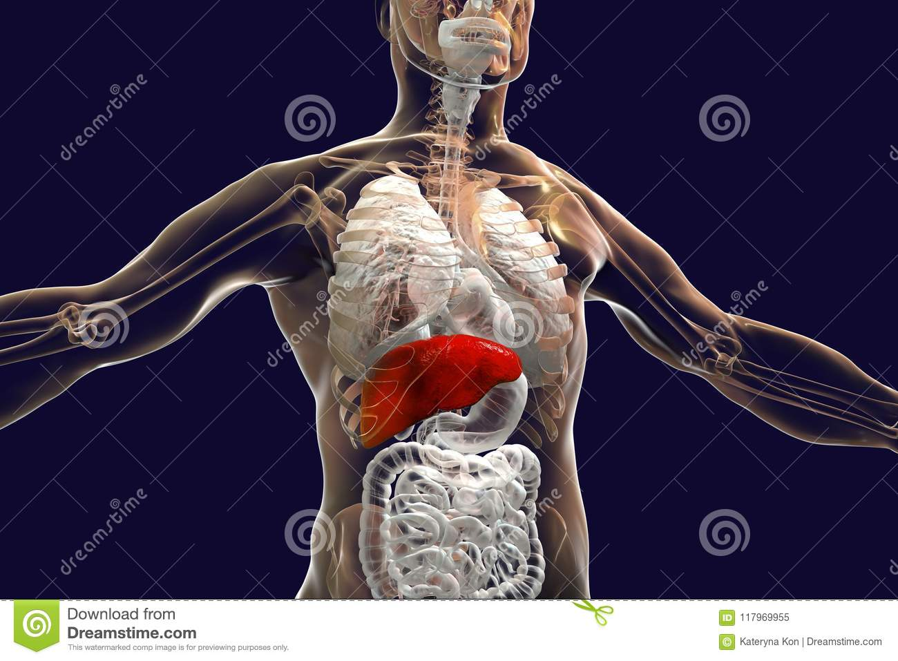 Liver Highlighted Inside Human Body Stock Illustration