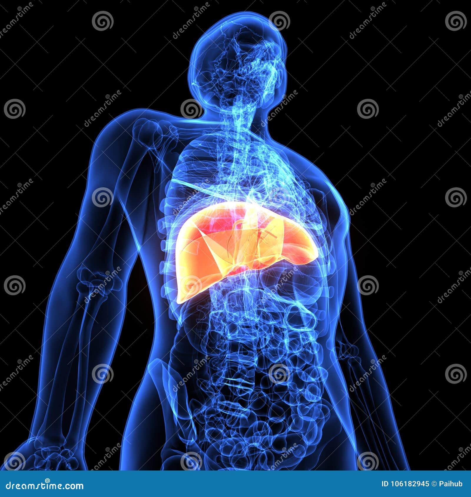 3d Illustration Of Human Body Liver Anatomy Stock Illustration