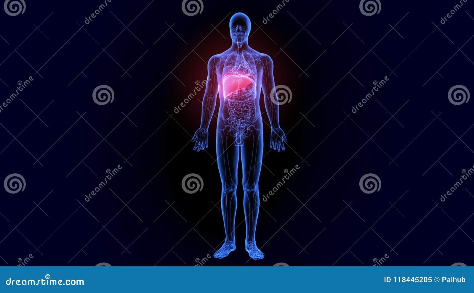 3d Illustration Of Human Body Organs Anatomy Liver Stock