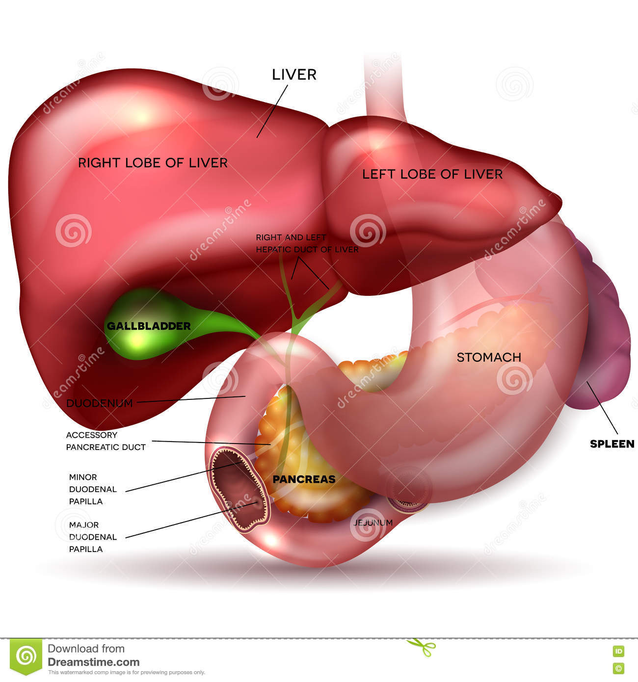 Liver And Stomach Stock Vector Illustration Of Anal 78510139