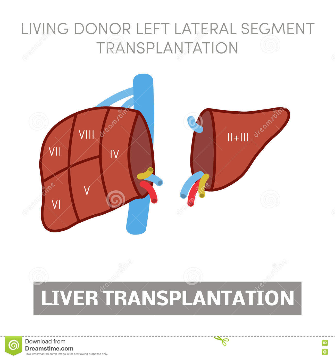 Old Fashioned Liver Anatomy Segments Ensign Human Anatomy Images