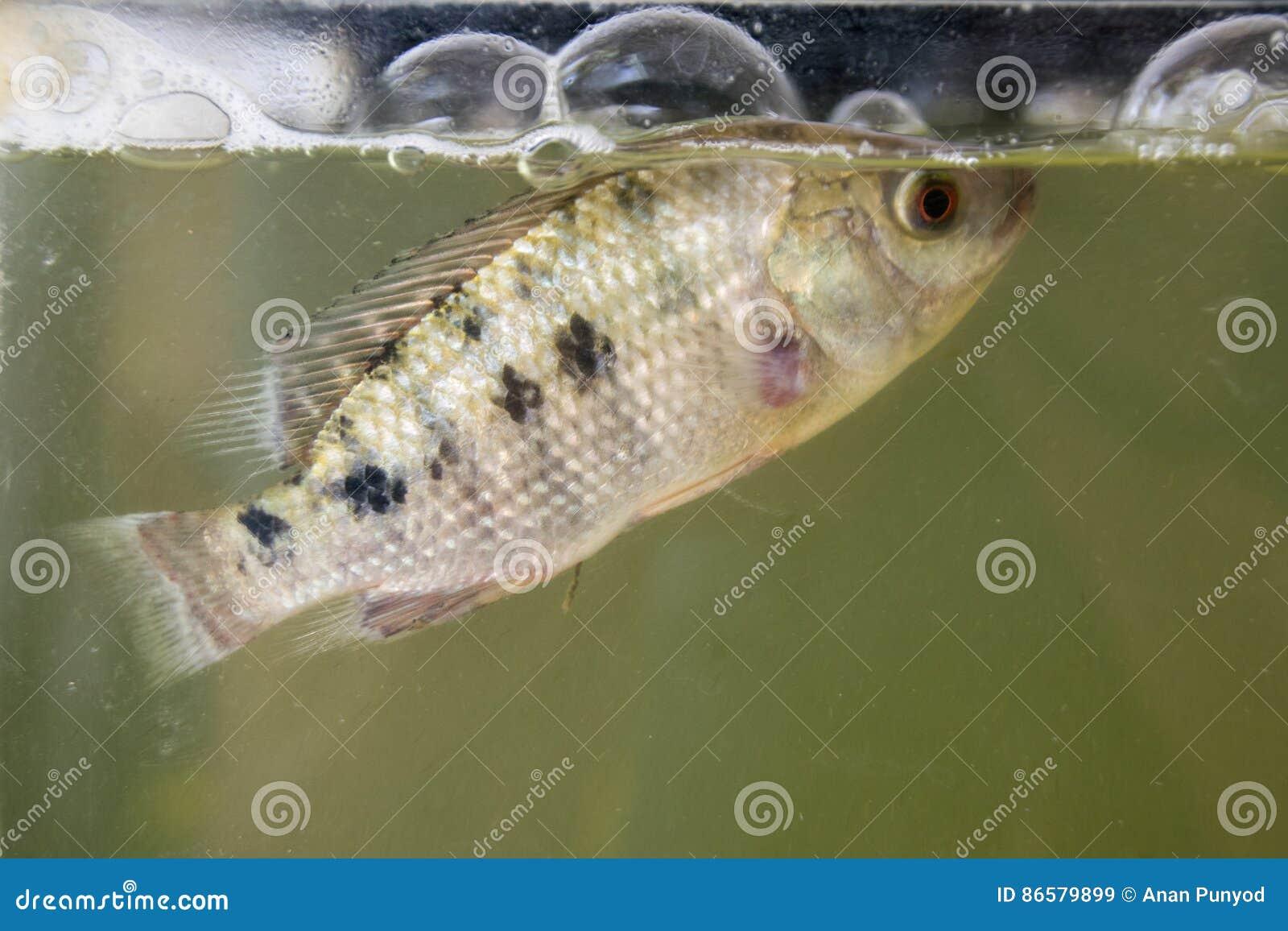 Livestock breeding tilapia fish on fish tank stock photo for Fishing for tilapia