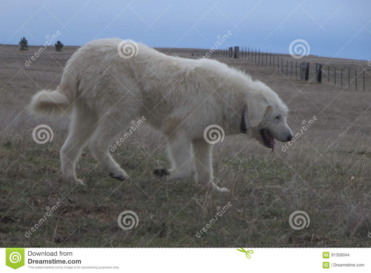 Download Livestock guardian dog stock photo. Image of field, pasture - 91356044