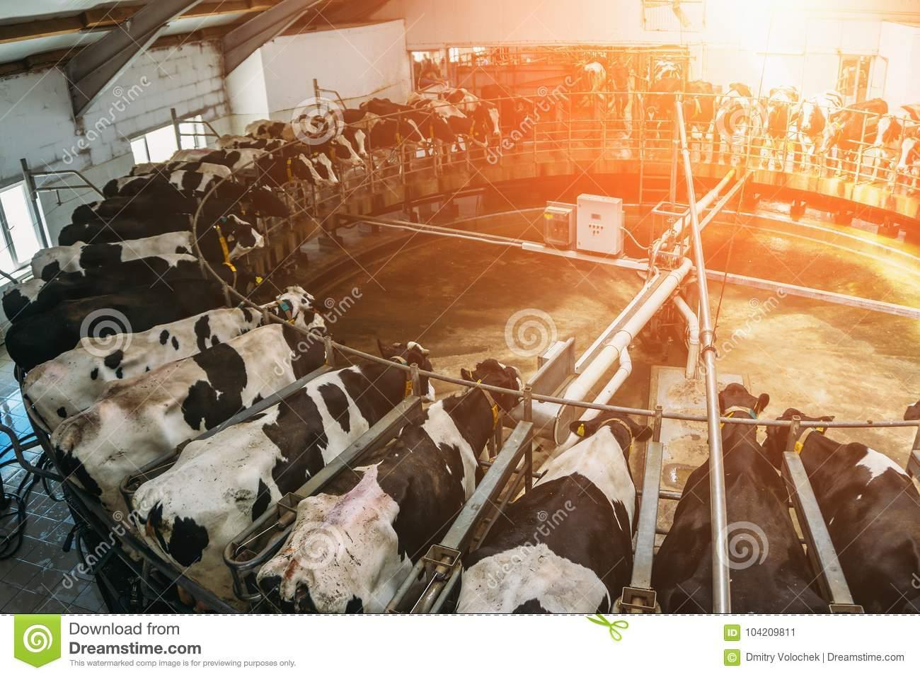 Livestock husbandry and Production of dairy products concept, Milking cows
