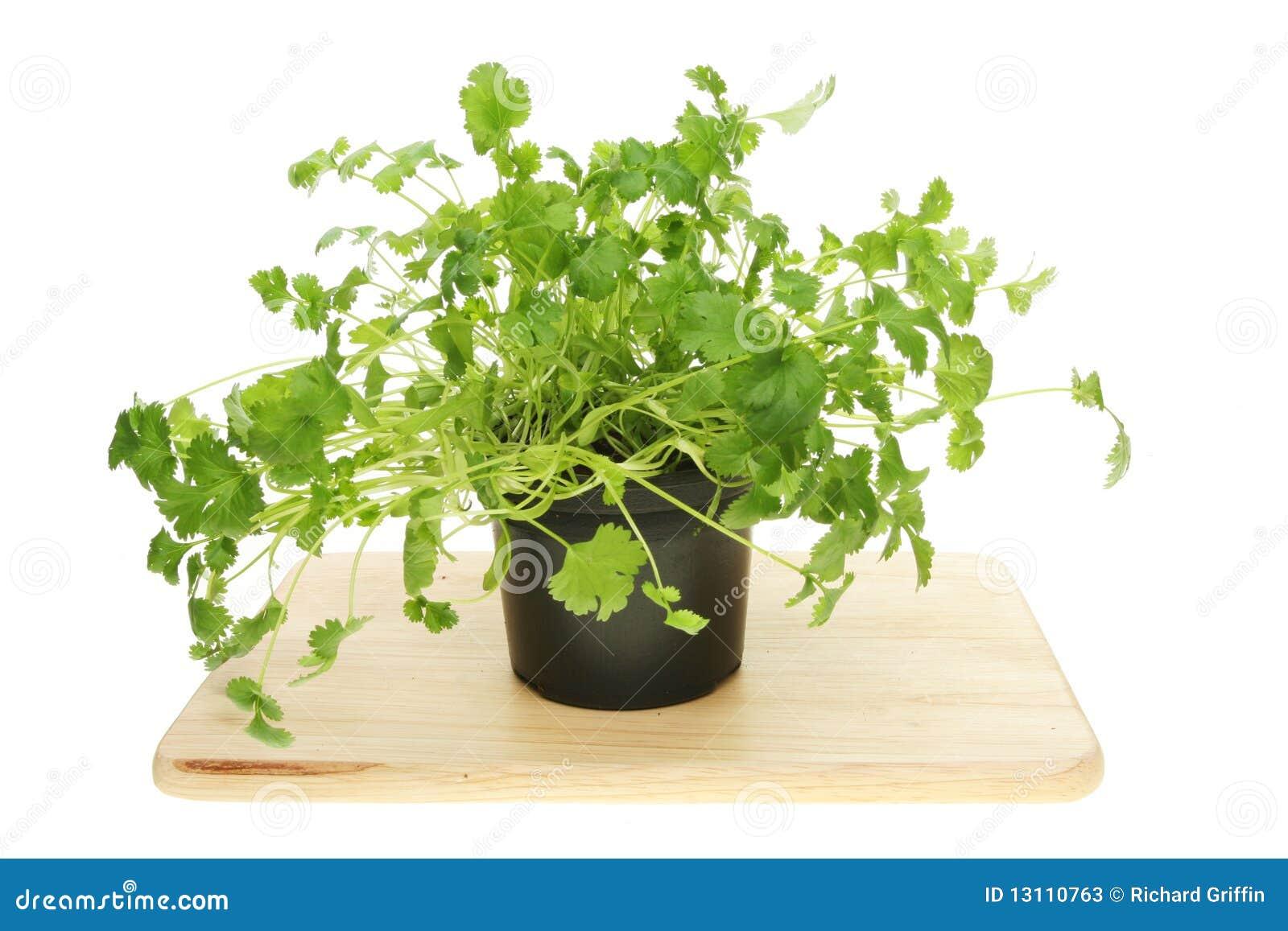Living Coriander Herb Stock Photos Image 13110763
