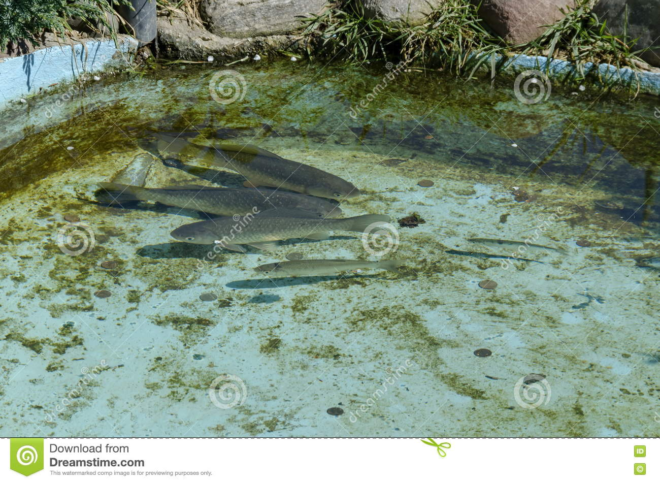 Living fish in aquarium or small lake outdoor stock photo for Small outdoor fish tank