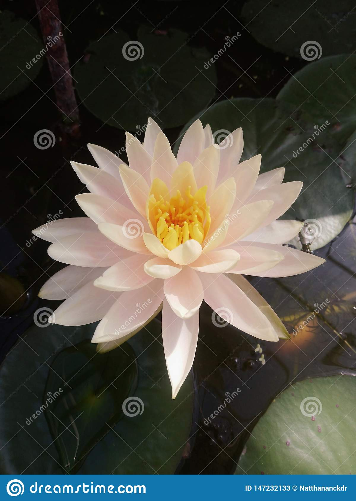 The white lotus flower close-up