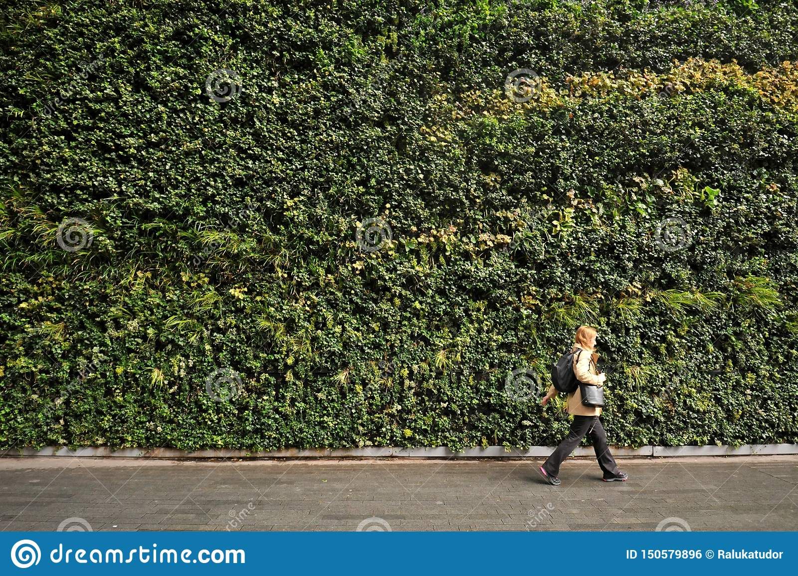 The largest vertical garden in London in Fenchurch Street living wall contains around 52,000 plants.