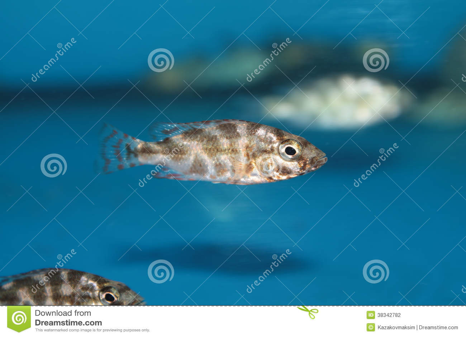 Livingstons Cichlid (Nimbochromis Livingstonii) Aquarium Fish Stock ...