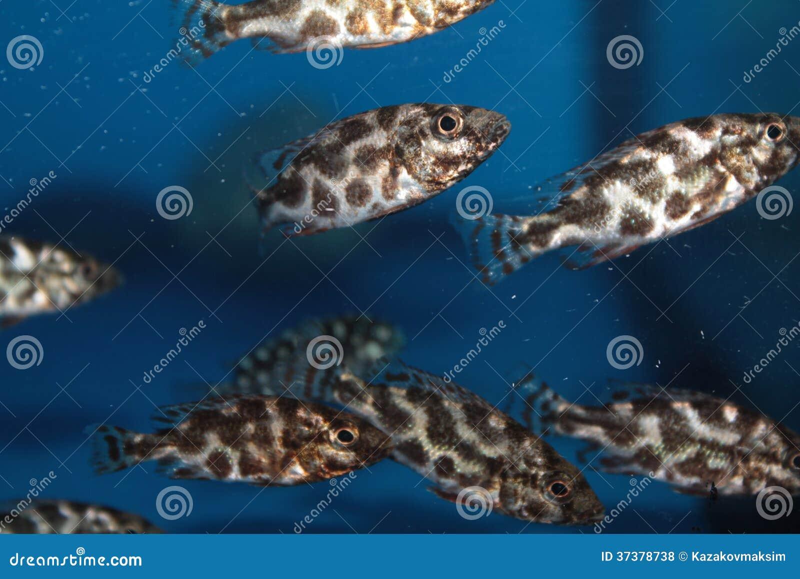 Livingstons Cichlid (Nimbochromis Livingstonii) Aquarium Fish Royalty ...