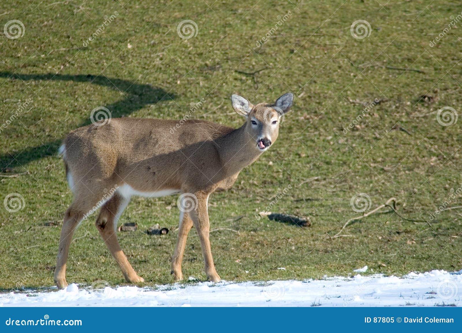 Lizanie jeleni nos