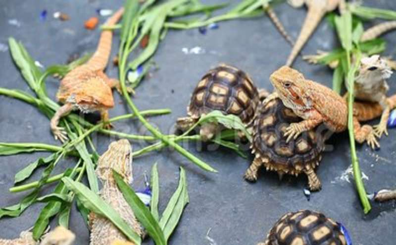 H D Reptiles Stoke 92+ Reptile And...