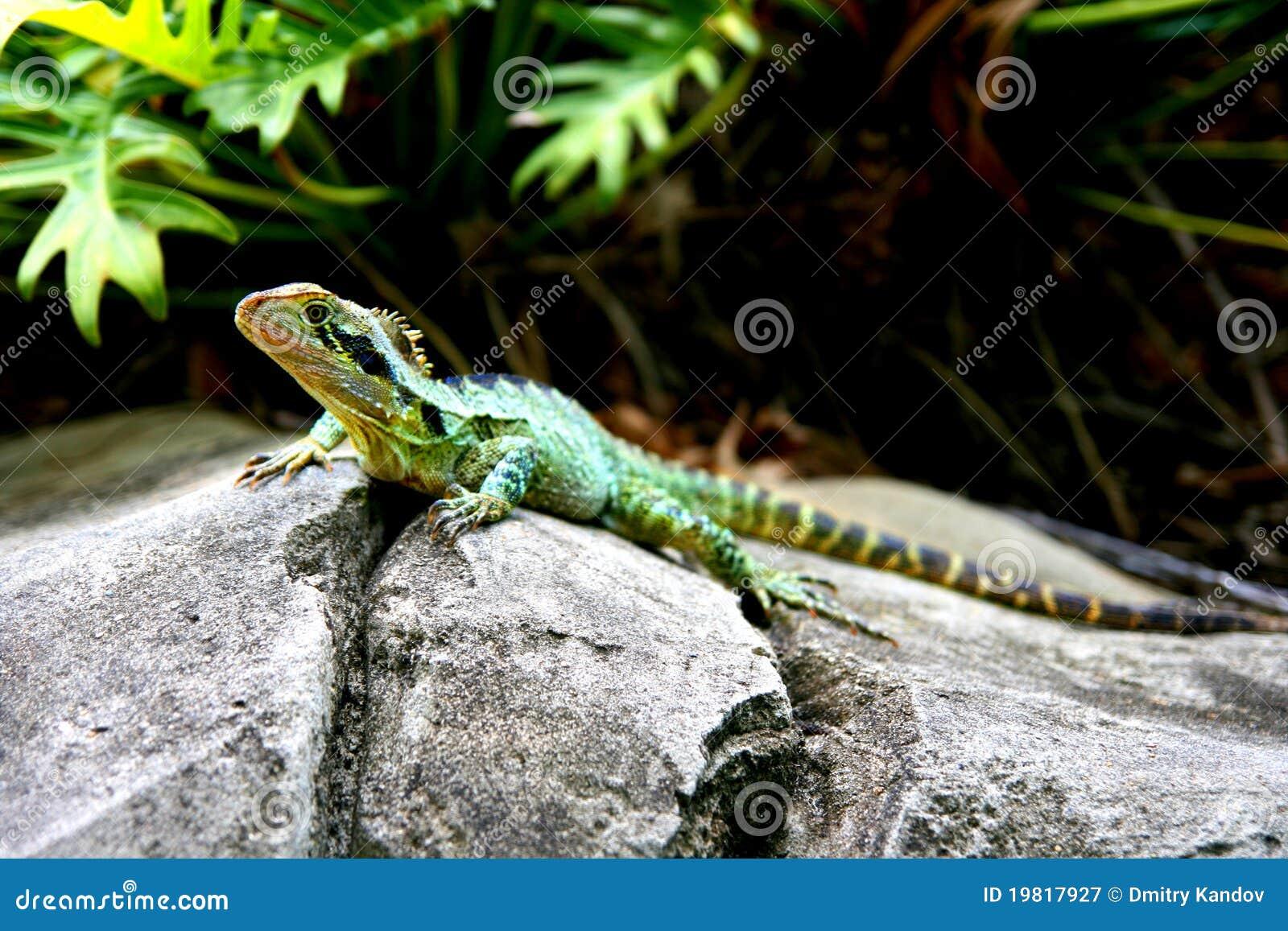 Australian Water Dragon Lizard: Australian Water Dragon Royalty Free Stock