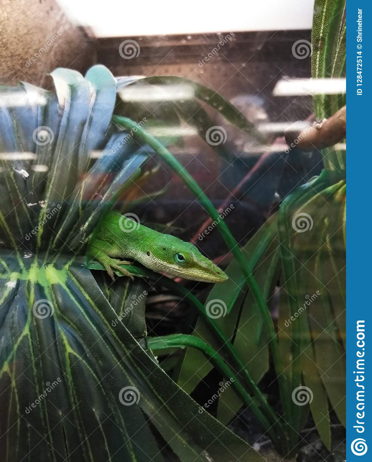 Lizard in a Pet Store Cage