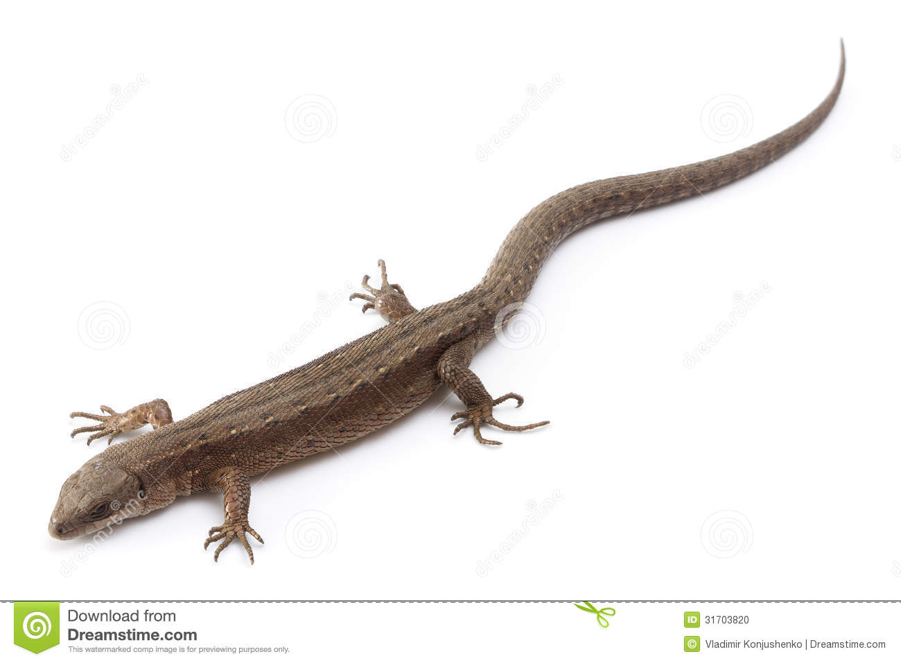 Brown lizard isolated on a white background.