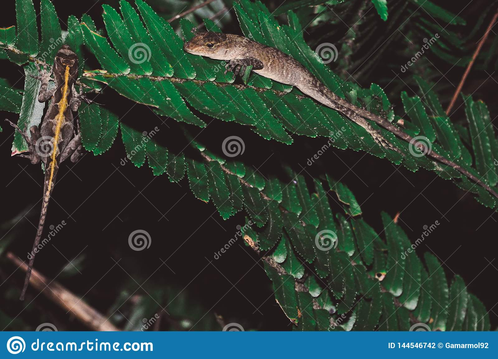 Lizard couple on leaves