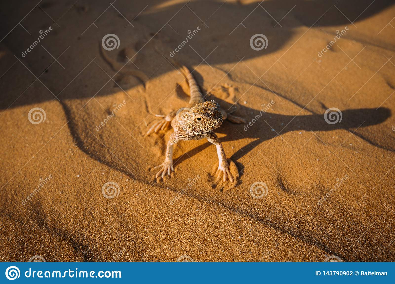 Lizard in the desert on the yellow sand