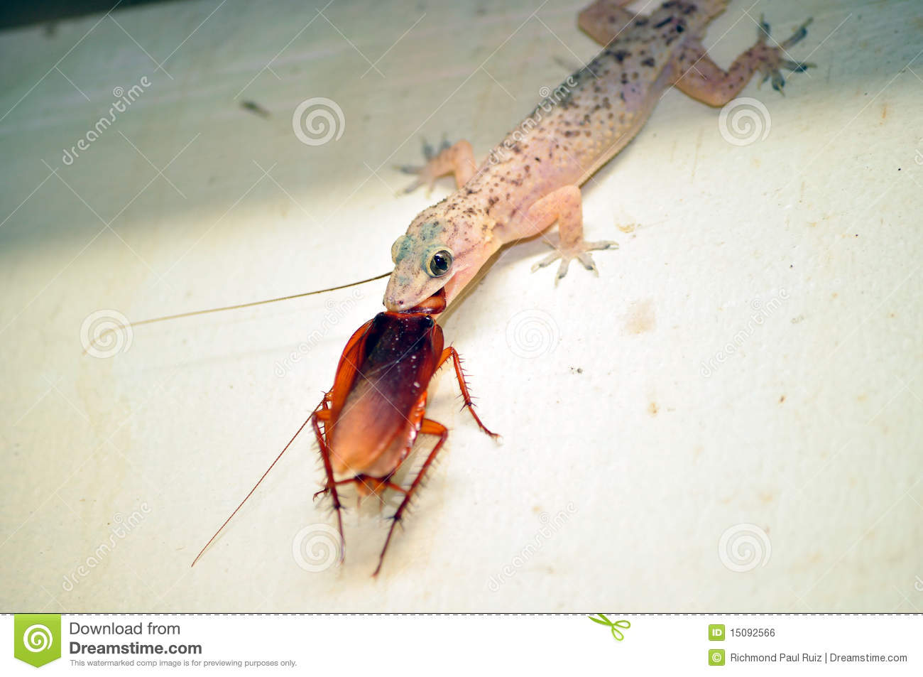 Lizard Eating Cockroach Royalty Free Stock Image - Image ...