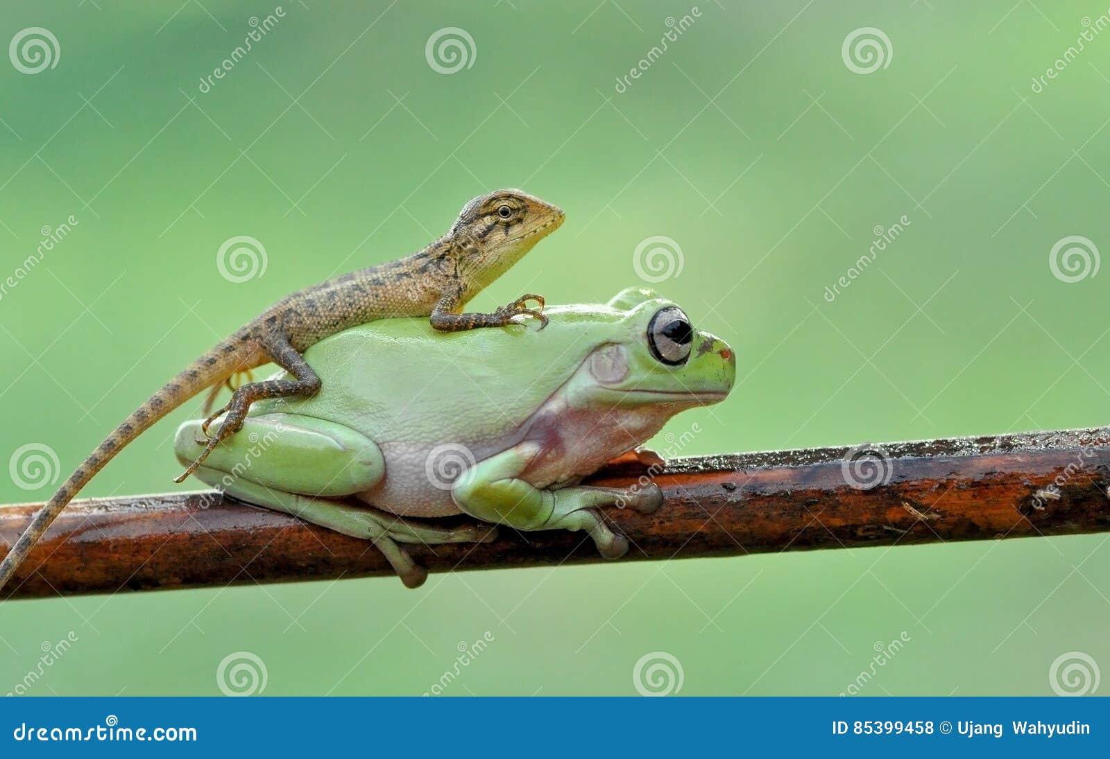 Lizard end frog