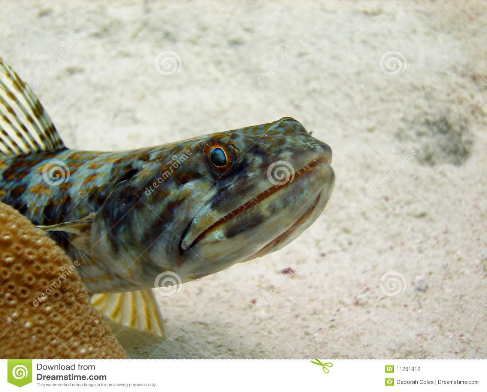 Lizard Fish Royalty Free Stock Image
