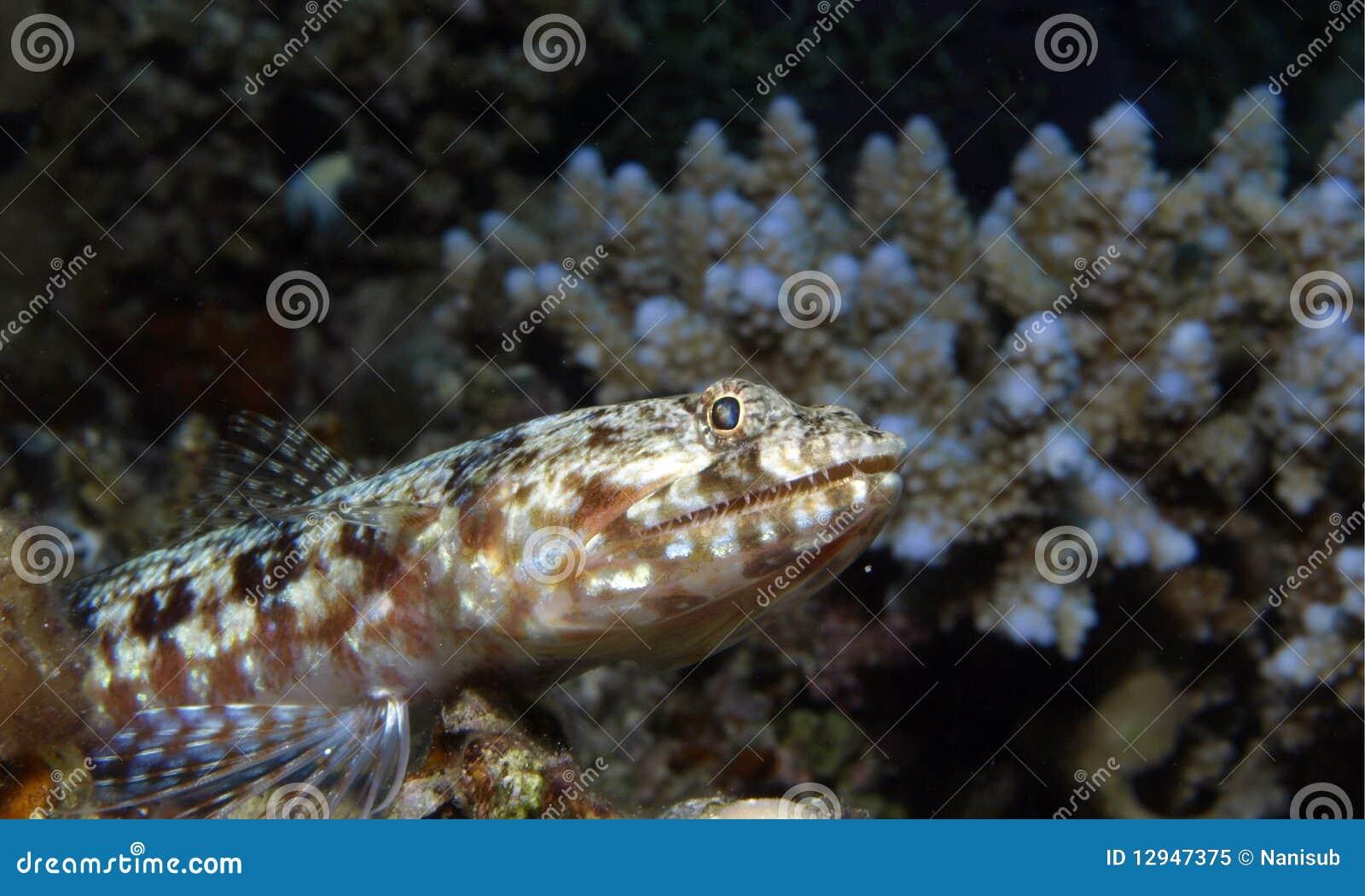 Lizard Fish Royalty Free Stock Photo Image 12947375