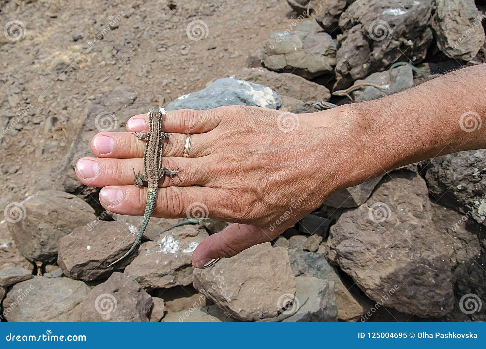 Lizard with food on human hand