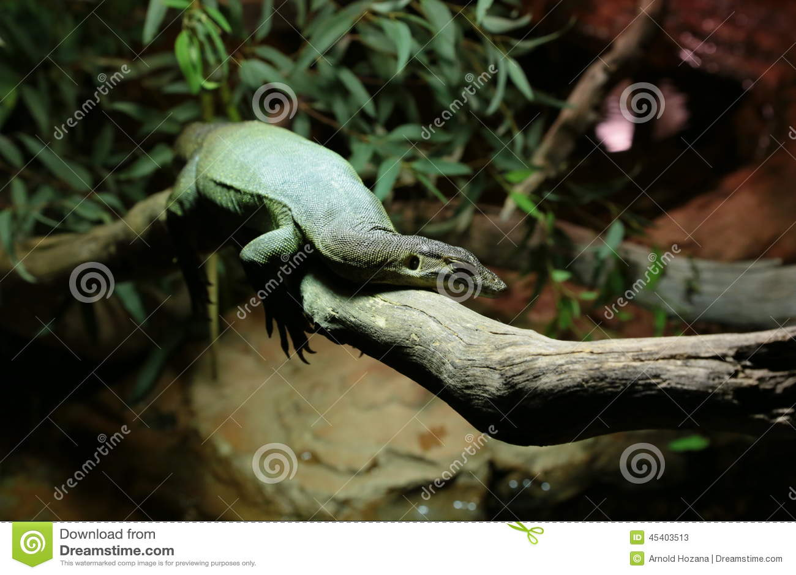 Lizard lazing around