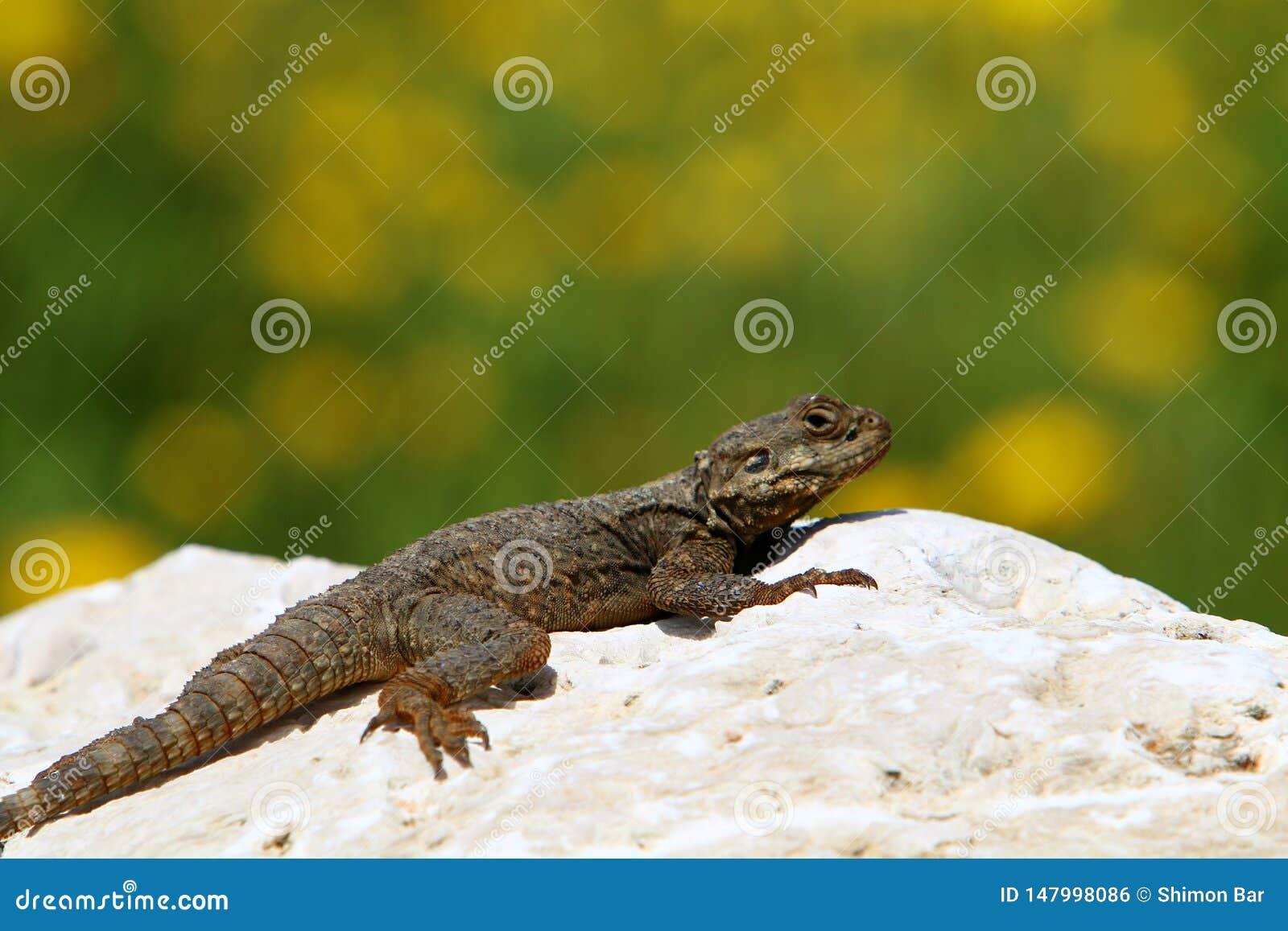 The lizard sits on a big rock