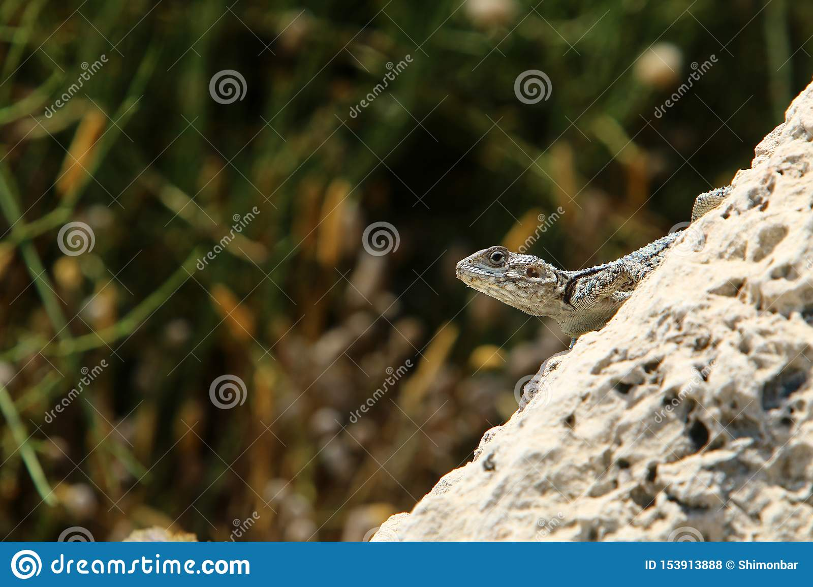 The lizard sits on a big rock and basks in the sun