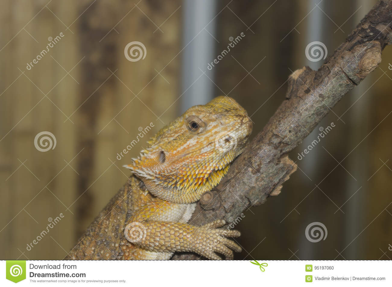 The Lizard sits on a branch