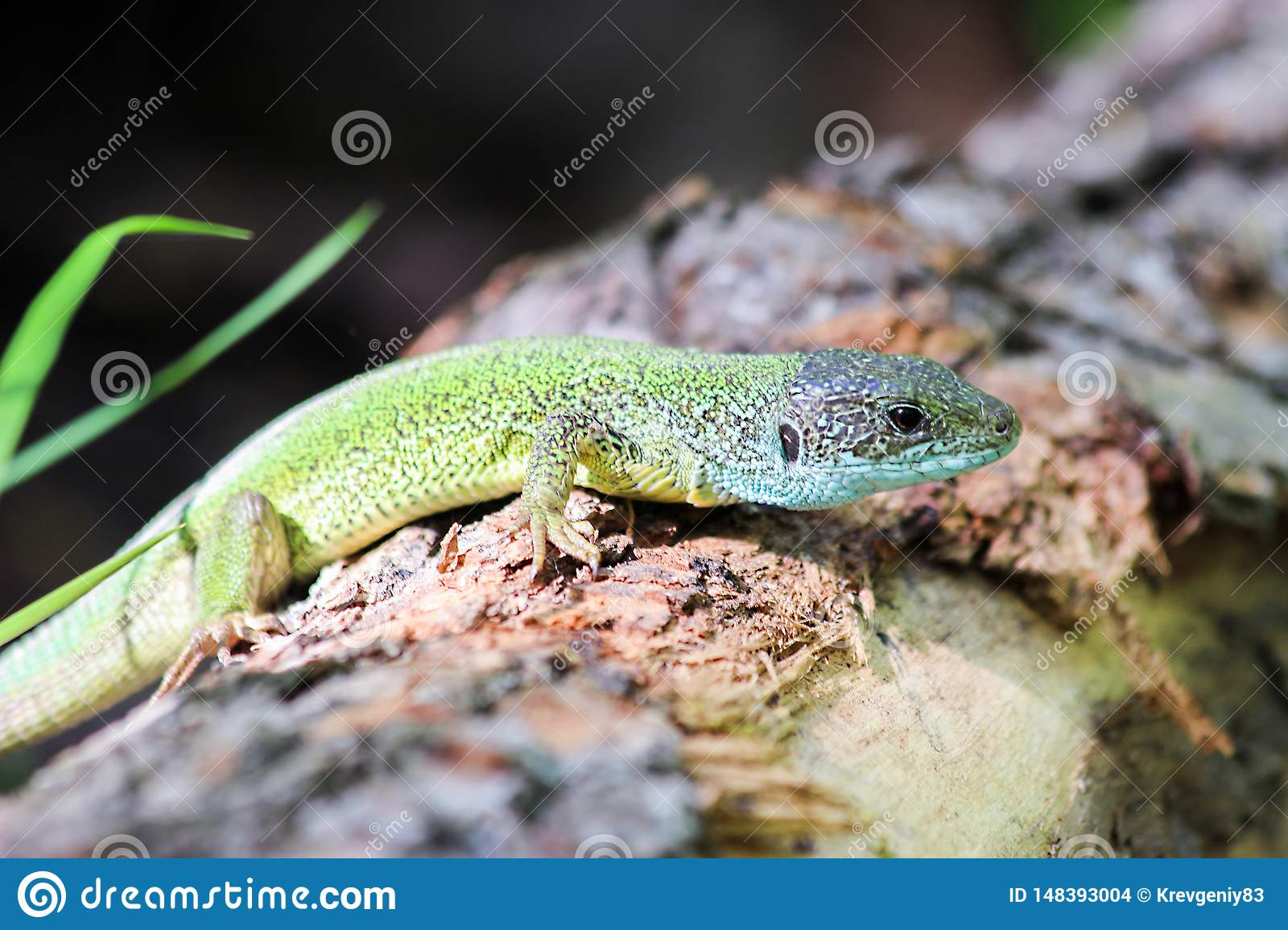 Lizard in the spring forest on a log