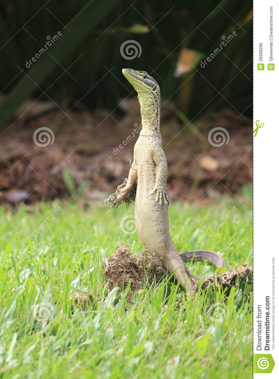 Lizard Standing Royalty Free Stock Image Image 26998296