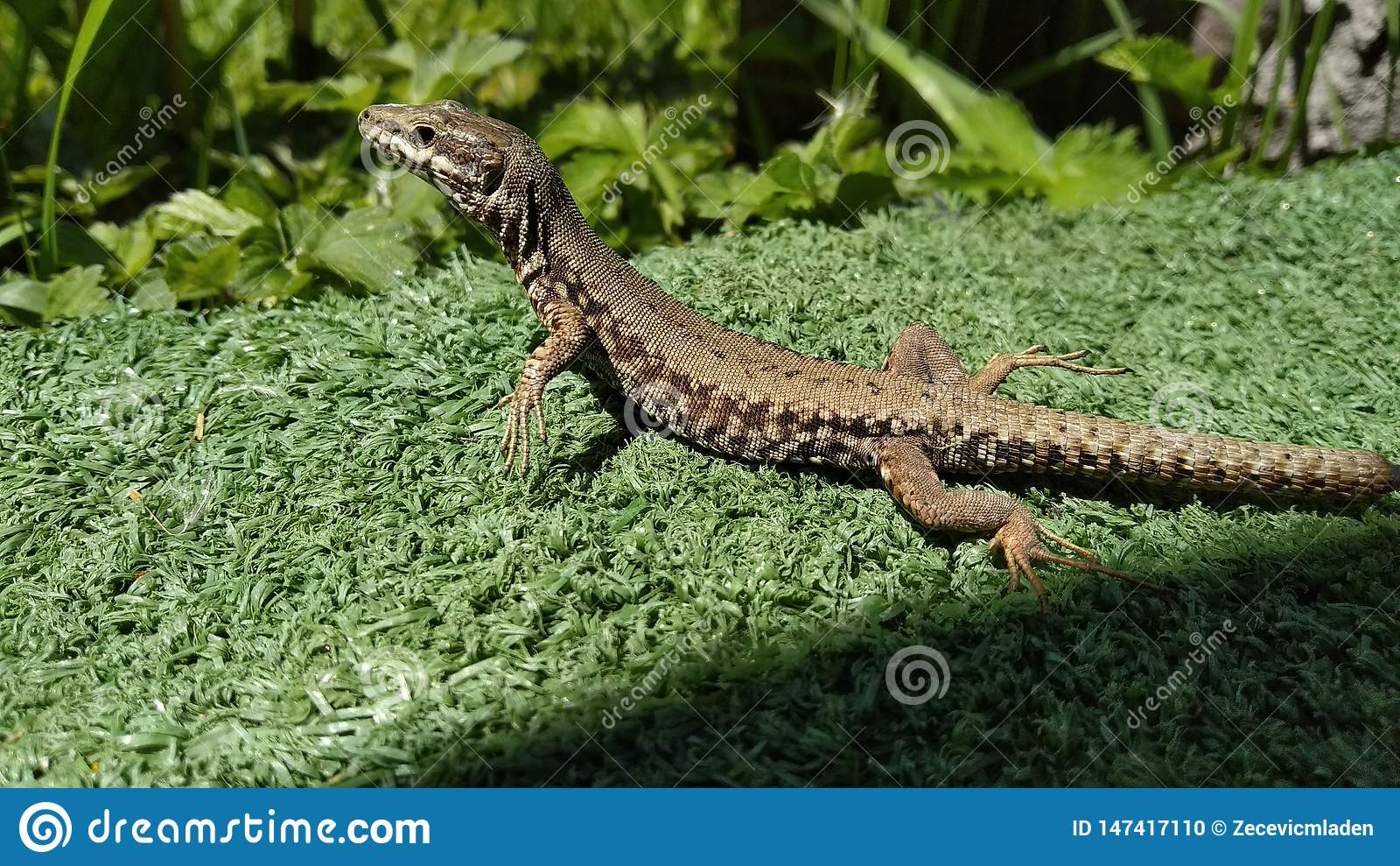 A lizard sunbathing and posing for a photo