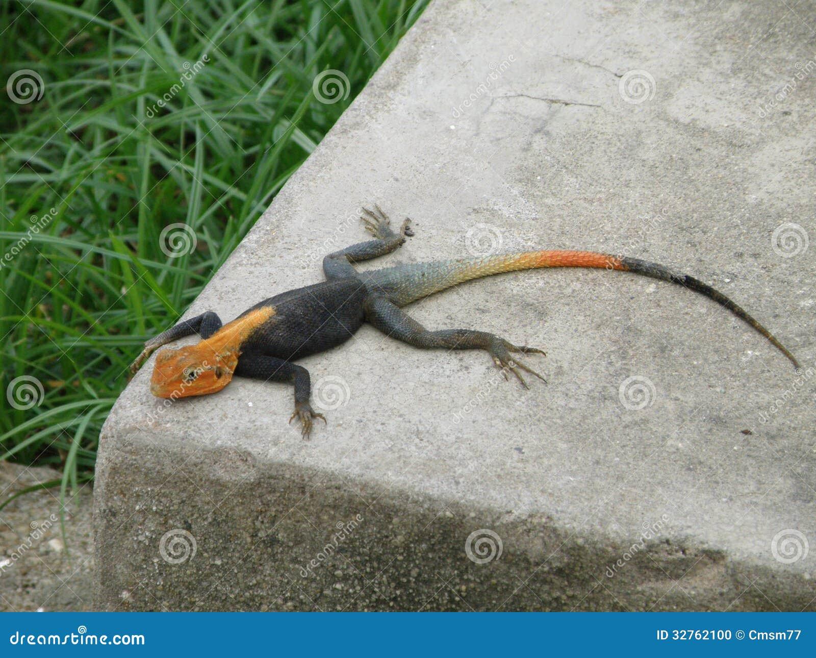 Lizard Taking Sun Bath Stock Photo Image 32762100