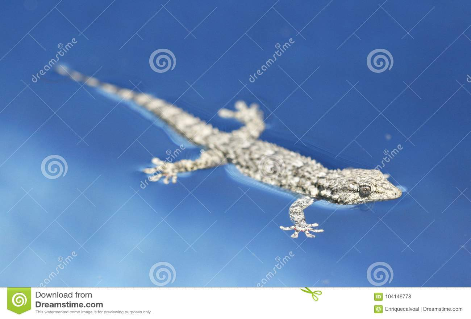 Mediterranean Tarentola mauritanica lizard floating in water pool