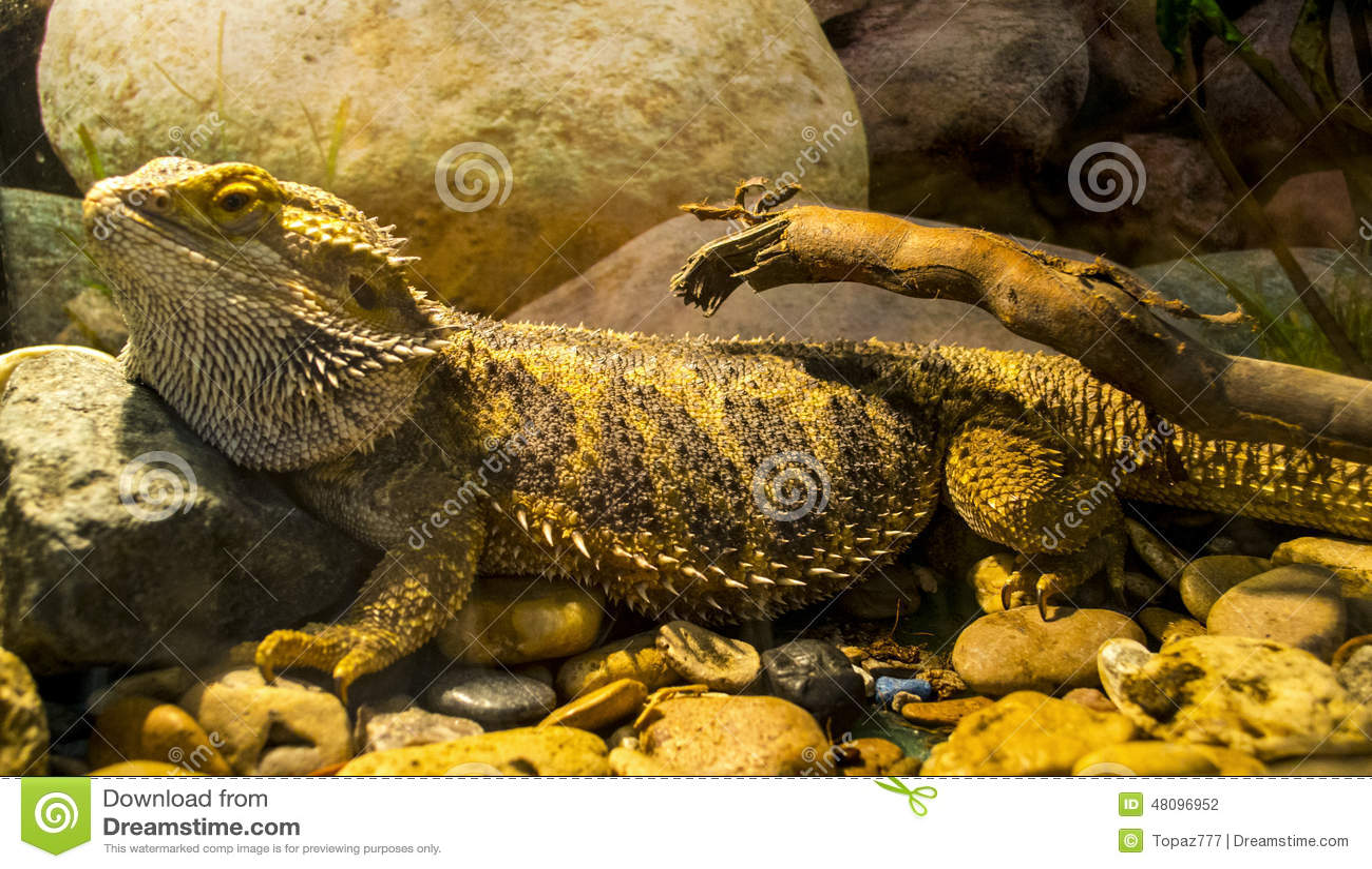 Armadillo Lizard Photos Free Royalty Free Stock Photos From Dreamstime