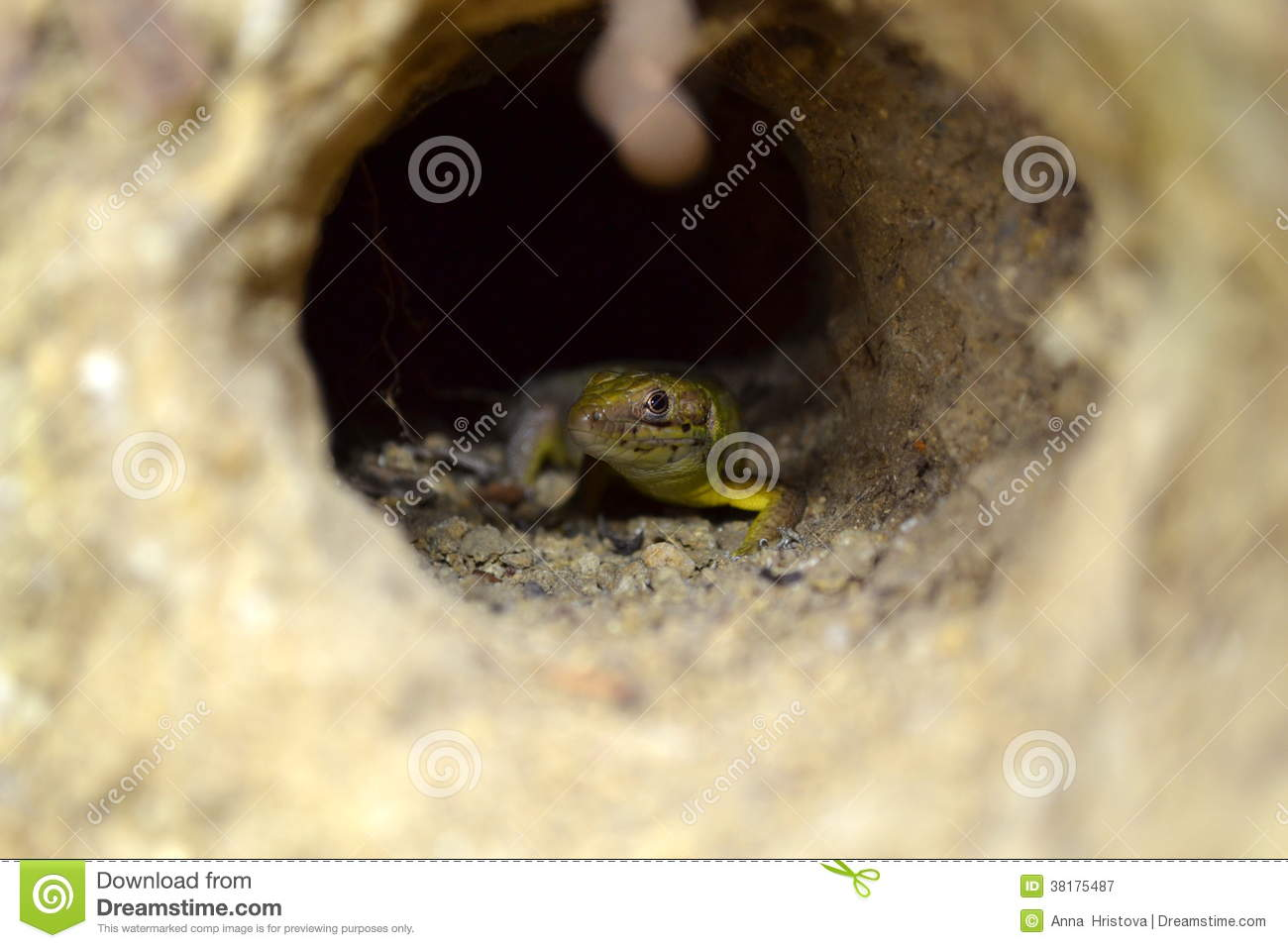 Lizard in a tunnel in the gound