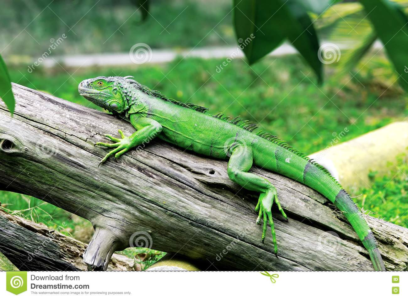 The lizard on the wood