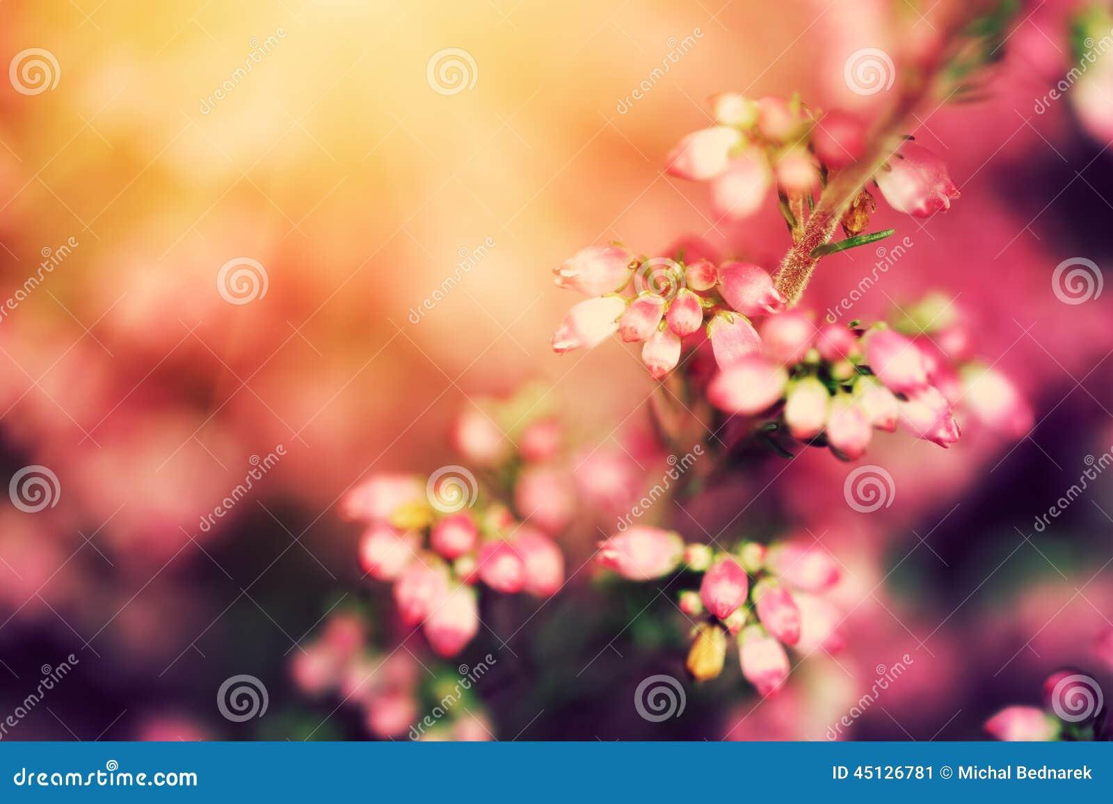 Ljung blommar på en nedgång, höstäng i glänsande sol