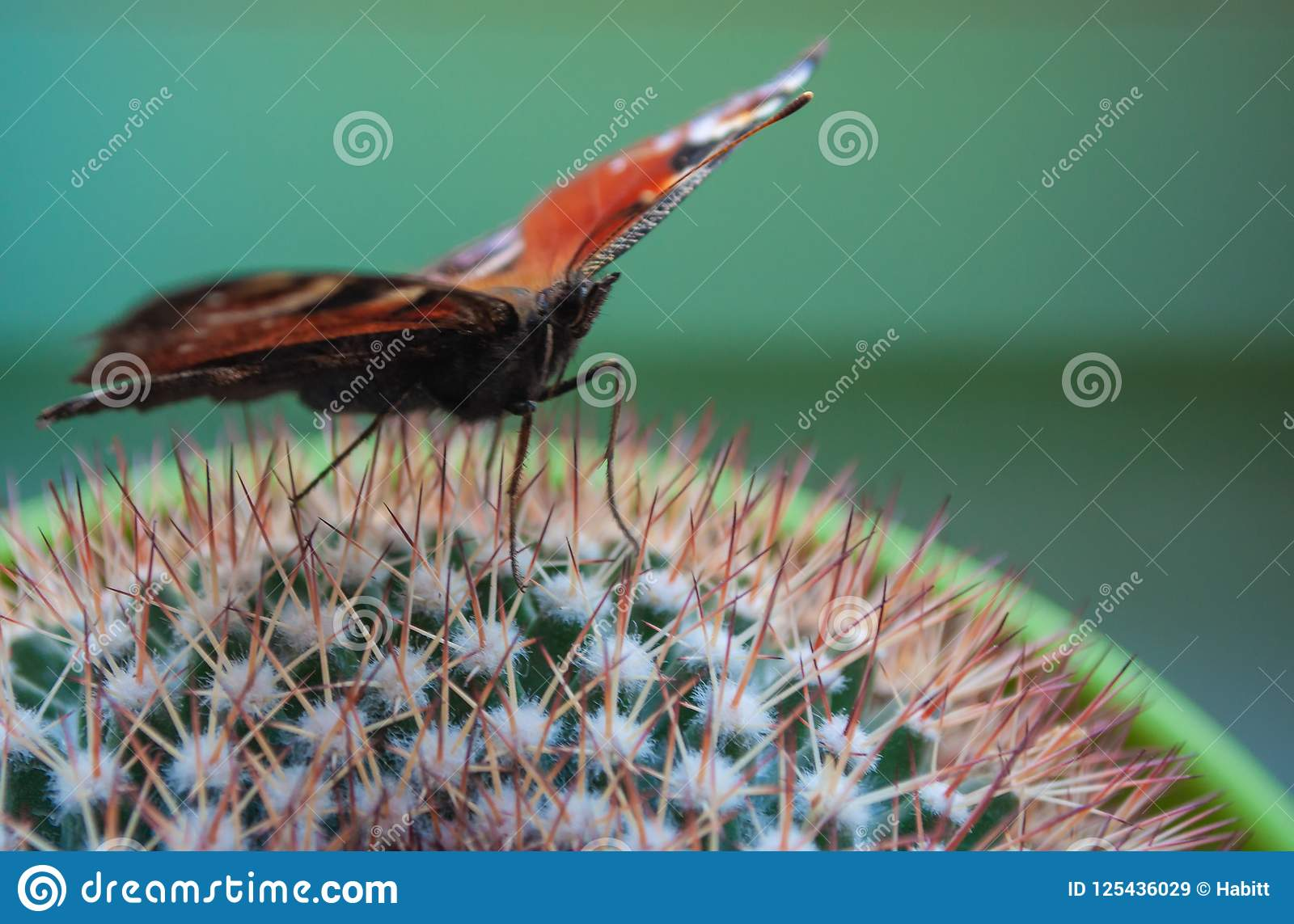 Ljus amiralfjäril på en grön kaktus