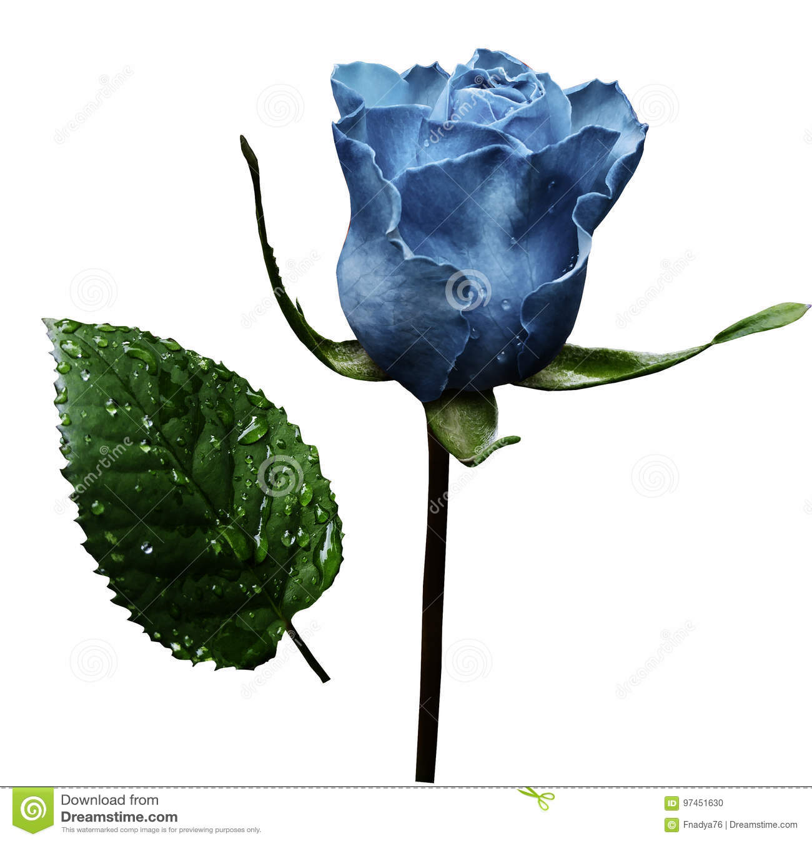 Ljus - blåttros på vit isolerad bakgrund med den snabba banan Inget skuggar closeup En blomma på en stjälk med gräsplan lämnar af