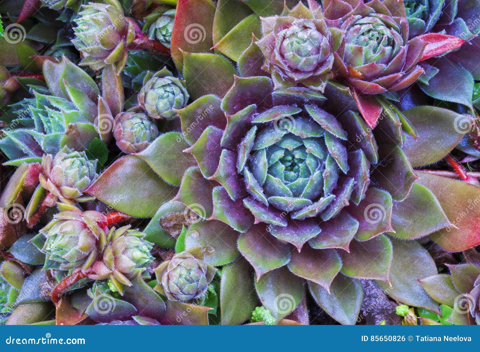 Ljus blommaSempervivum tectorum, suckulenter eller crassulaceae med vattendroppar Closeupfoto, selektiv mjuk fokus Växter gard