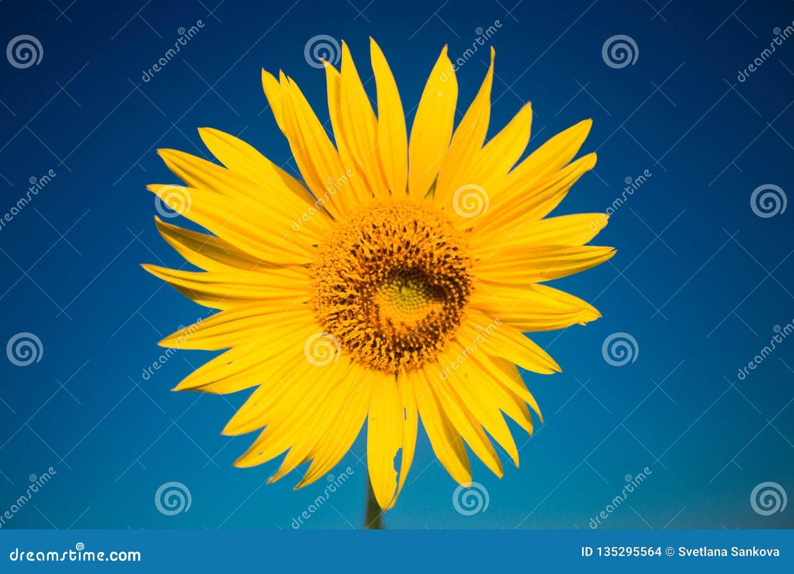 Ljus gul solros i sommartid på bakgrund för blå himmel