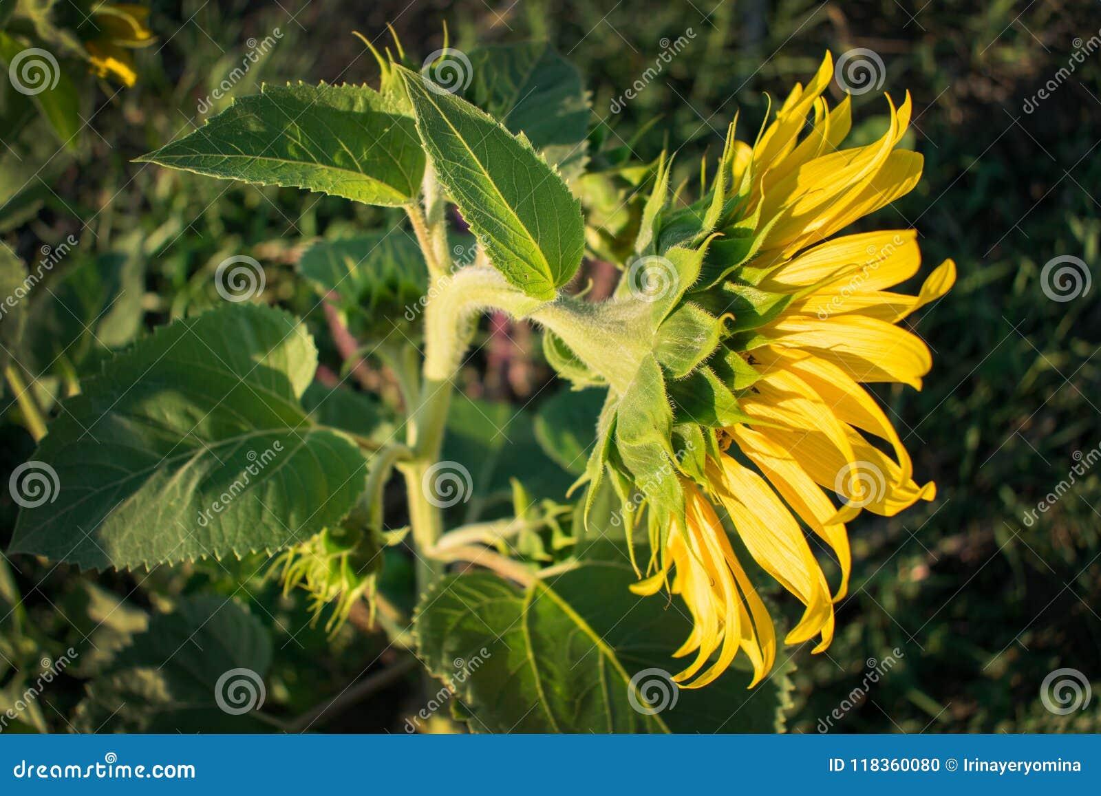 Ljus gul solrosblomma på en bakgrund av gröna sidor