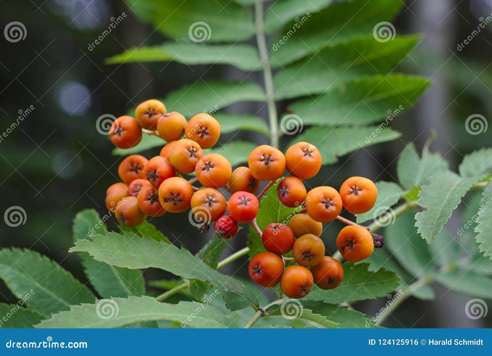 Ljusa orange rönnbär med gröna sidor i bakgrunden